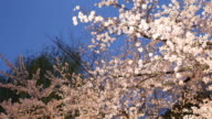 Illuminated cherry tree with white blossom in Kyoto at sunset