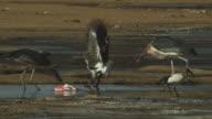 MS immature African Fish Eagle and Marabou storks squabble over flamingo carcase