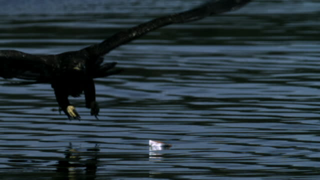 Immature Bald Eagle attempts to grab Salmon carcass from water surface. (Slight vertical lines and colour artifacts visible throughout)