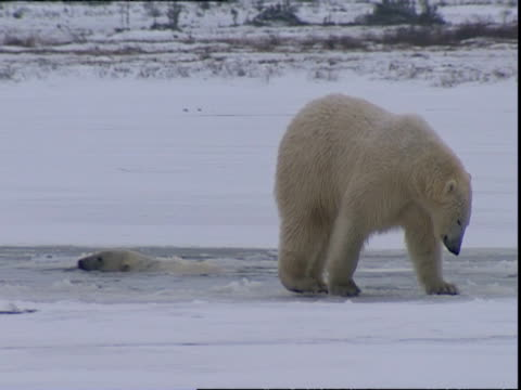 Immature Polar bear (Ursus maritimus) scraping ice at ice hole, near Churchill, Manitoba, Canada