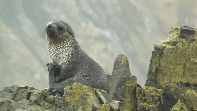 MS, Immature southern fur seal (Arctocephalus gazella) on lichen covered rocks in rain, South Georgia Island, Falkland Islands, British overseas territory