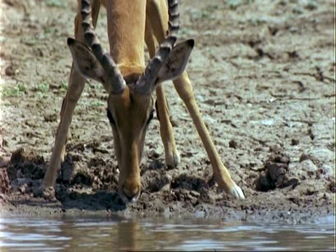 Impala Antelope, CU gingerly steps towards water and drinks, pulls out