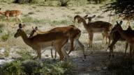 Impala Antelopes walking on savannah in Etosha National Park