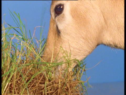 Impala grazes against blue screen