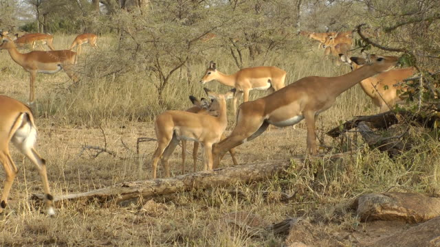 Impala Grasen