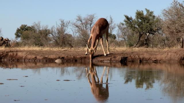 Impala herd drinking at waterhole in Mashatu game reserve.Botswana