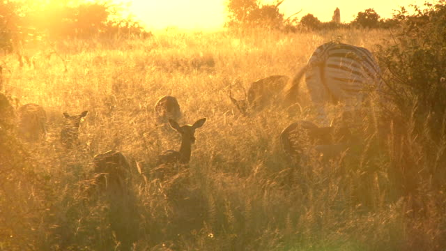 Impala herd feeding next to zebra in late afternoon sunlight/ Kruger National Park/ South Africa
