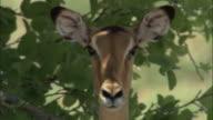 Impala peers around in shade, Botswana