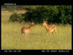 MS 2 Impala (Aepyceros melampus) stags fighting, horns clash