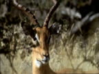 Impala takes fright and runs away, Okavango Delta, Botswana