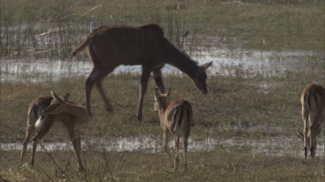Impalas and a kudu walk in a marsh.