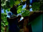Import sanctions on EU goods in banana war LIB Men harvesting bananas in banana plantation