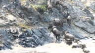 incredible fighting for survival - Great wildebeest migration in Kenya