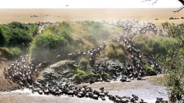 Unglaubliche kämpfen für survival-Great Gnu Migration in Kenia