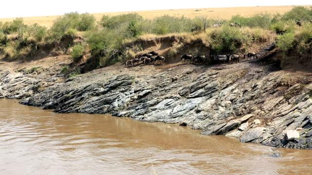 incredible fighting for survival - Great Wildebeest Migration in Kenya