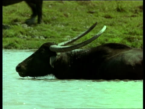 MS Indian Buffalo in water, looking to camera, turns and walks away, India
