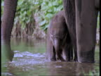 Indian Elephant, Elephas maximus, mother and calf in river, wading, Western Ghats, India
