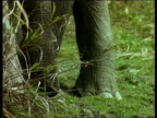 CU Indian Elephant feet and trunk standing in grass, India