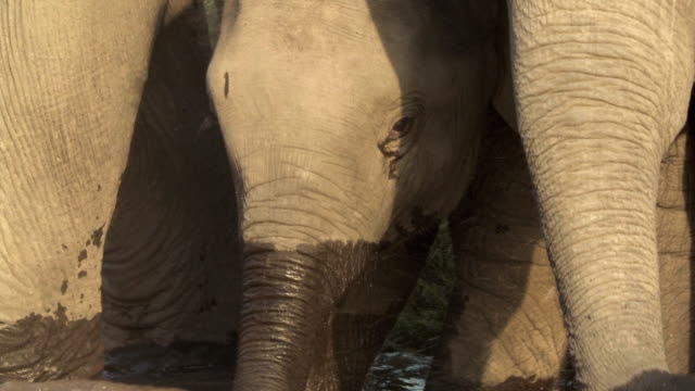 CU TU Indian elephant (Elephus maximus indicus) with two calves drinking from waterhole / India