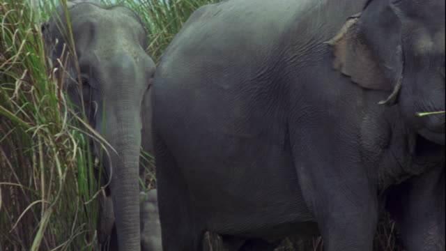 Indian elephants and calves emerge from elephant grass.