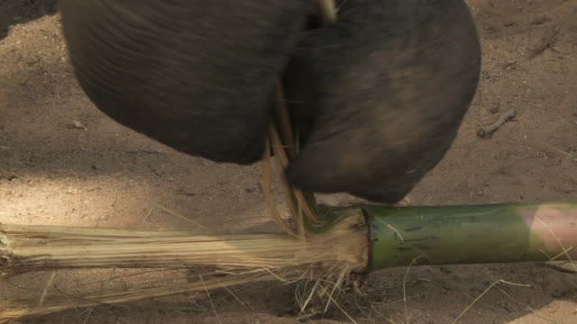 ECU Indian elephant's (Elephus maximus indicus) trunk tearing strips off bamboo / India