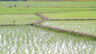 Indian farmers harvest 20% of the world's rice production