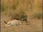 Indian leopard (Panthera pardus fusca)) dragging prey, Bandhavgarh National Park, India