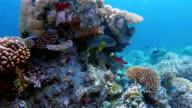 Indian Ocean oriental sweetlips on colorful coral reef