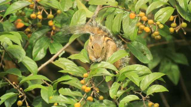 Indian Palm squirrel, Funambulus palmarum, feeding on berries in dense forest