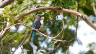 Indian roller, Blue jay bird.