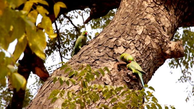 Indian Rose-Ringed Parakeet HD
