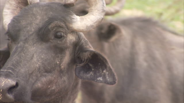 Indian water buffaloes bear curled horns. Available in HD.