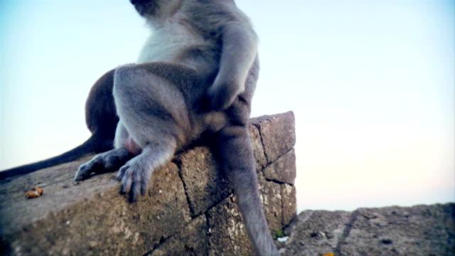 Scimmia indonesiana graffi è inferiore