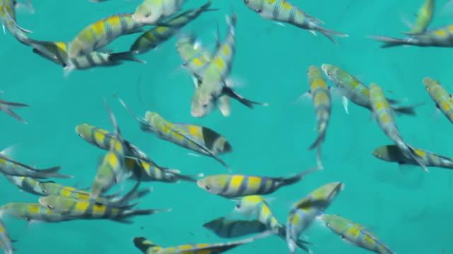 Indo-Pacific sergeant fish.