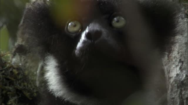 Indri lemur (Indr indri) looks around in forest, Madagascar