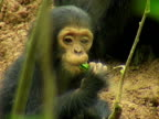 CU, Infant chimp (Pan troglodytes) sitting on ground and eating twig, Gombe Stream National Park, Tanzania