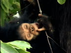 CU, Infant chimp (Pan troglodytes) with mother, Gombe Stream National Park, Tanzania