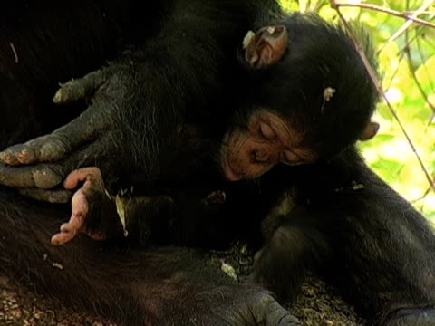 CU, Infant chimp (Pan troglodytes) with mother, Gombe Stream National Park, Tanzania