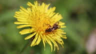 Insect on dandelion (Taraxacum)