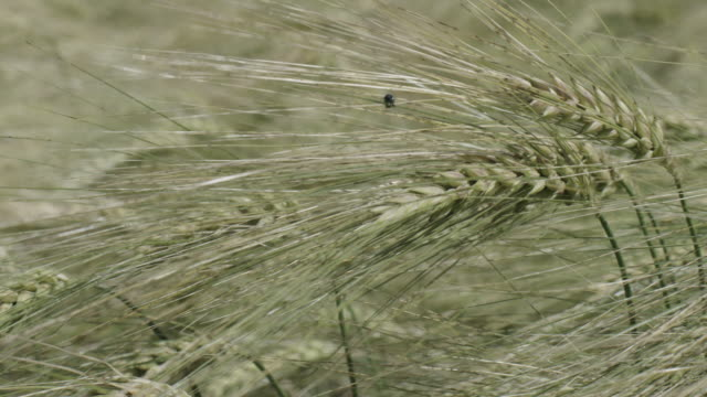 insect on wheat