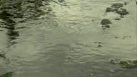 Insect Water skaters