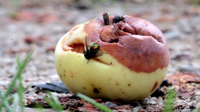 Insects Eating Rotten Apple