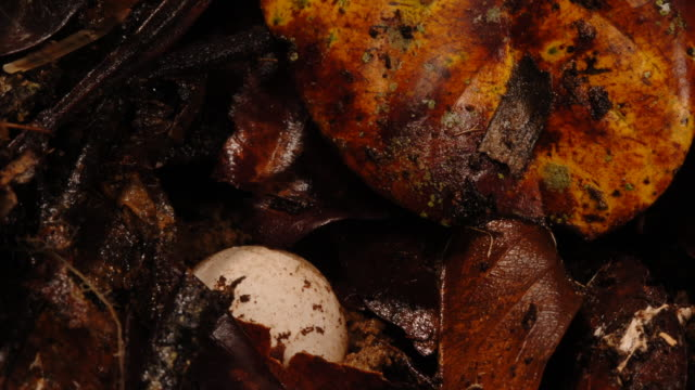 Insects scurry over lacey stinkhorn fungus egg and decomposing leaf litter. Available in HD.