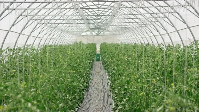 DS Inside of a tomato growing greenhouse