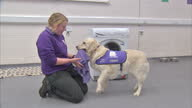 Interior shots dog trainers teaching assistance dogs various tasks essential for their owners in the home including opening washing machine paying...