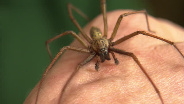 Interior shots of a large common house spider on the hand of a London Zoo employee on September 24 2015 in London England