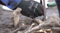 Interior shots of archaeologists from Museum of London Archaeology excavating human remains from a 16th century burial site discovered during...