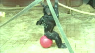 Interior shots of bonobo apes playing with ropes ball in zoo enclosure on March 08 2016 at Twycross Zoo England Twycross Zoo which is the only zoo in...