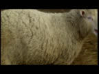 Interior shots of Dolly the sheep being handled into a pen Interior shots of Dolly in a pen Sky News Dolly the Cloned Sheep Footage at Roslin...