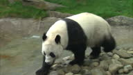 Interior shots of Giant Panda Tian Tian roaming around her pen at Edinburgh Zoo Progesterone levels have risen in Tian Tian which indicates she may...